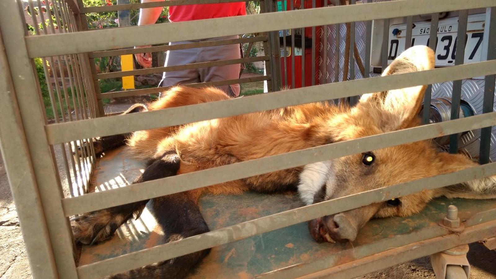 Animal foi encontrado debilitado, magro e com poucos dentes em fazenda de Bariri (Foto: Corpo de Bombeiros de Bariri / Divulgação)