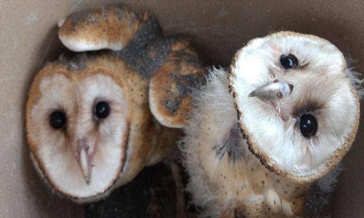 Filhotes de coruja estavam em um imóvel na área urbana de Uberlândia (foto: PMMG/Divulgação)