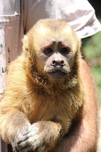 Macaco-prego-galego