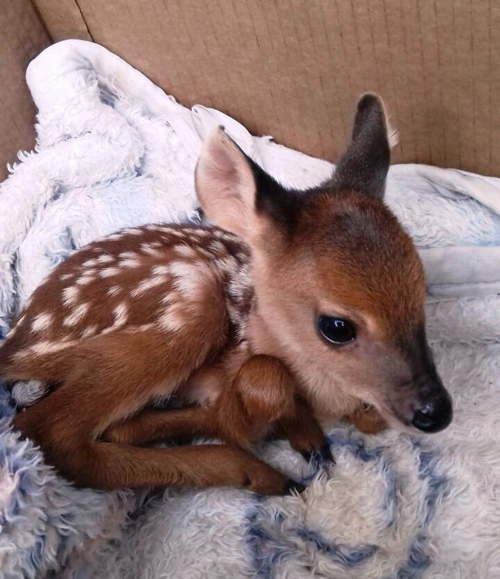 Filhote de veado foi encontrado nesta quinta-feira (17) em canavial de Santa Vitória (Foto: Polícia Militar de Meio Ambiente)
