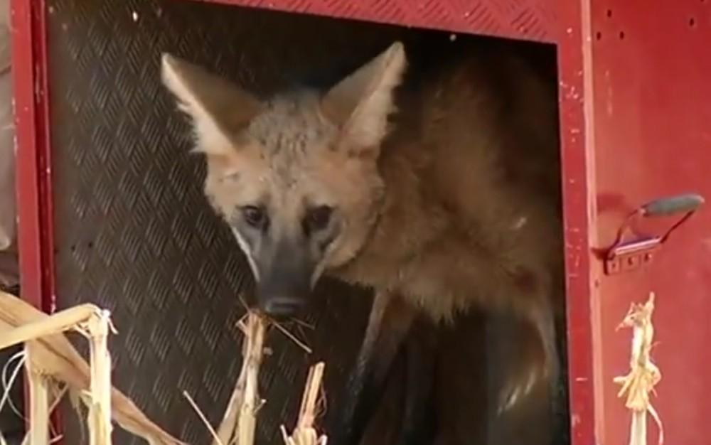 Lobo-guará fêmea foi resgatada pelos bombeiros e solta em área de preservação, em Rio Verde, Goiás (Foto: Reprodução/TV Anhanguera)