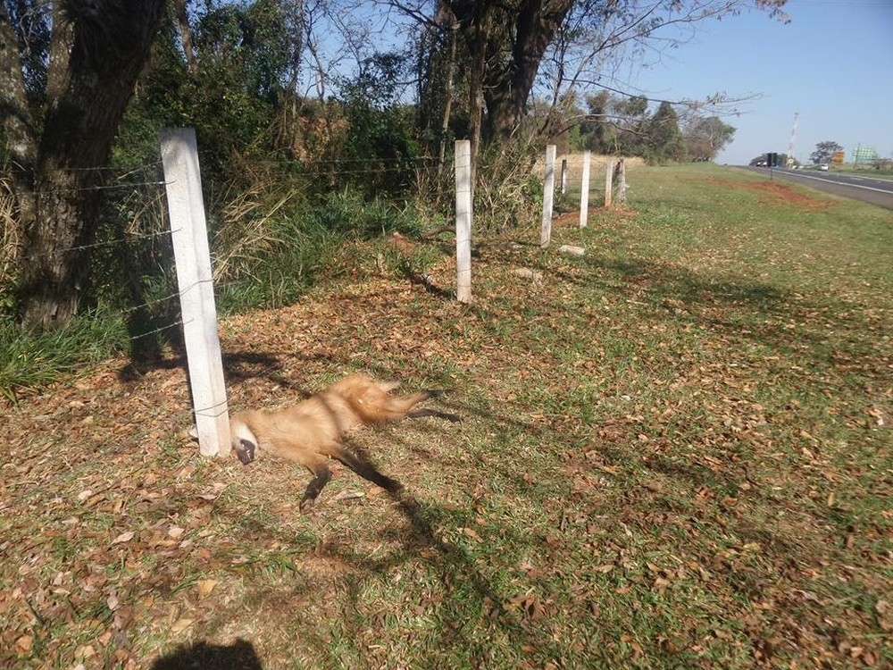 Lobo foi encontrado às margens da rodovia pelo diretor do zoo de Bauru (Foto: Luiz Pires / Arquivo pessoal )