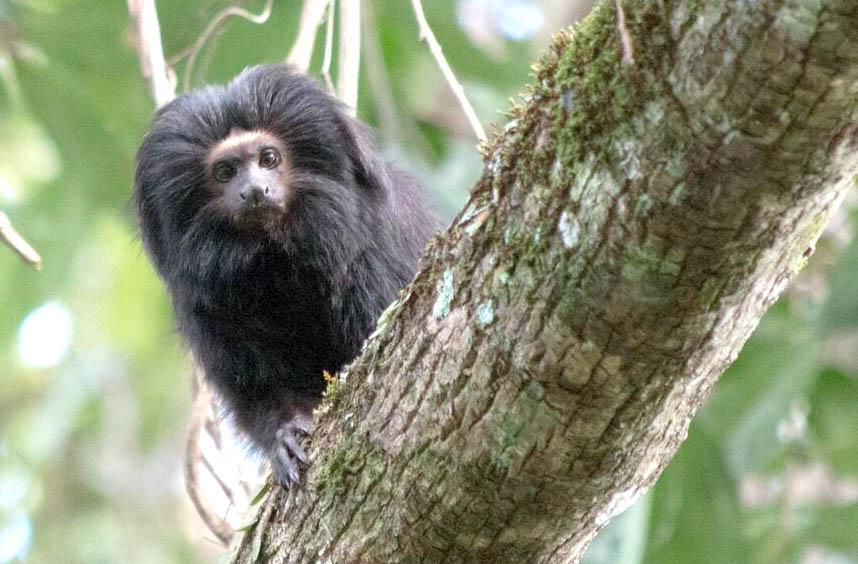 Pesquisadores tentam proteger mico-leão preto em estação ecológica