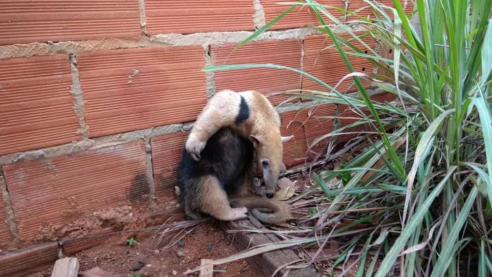 Tamanduá mirim foi encontrado no quintal de uma casa em Palmas (Foto: Prefeitura de Palmas/Divulgação)