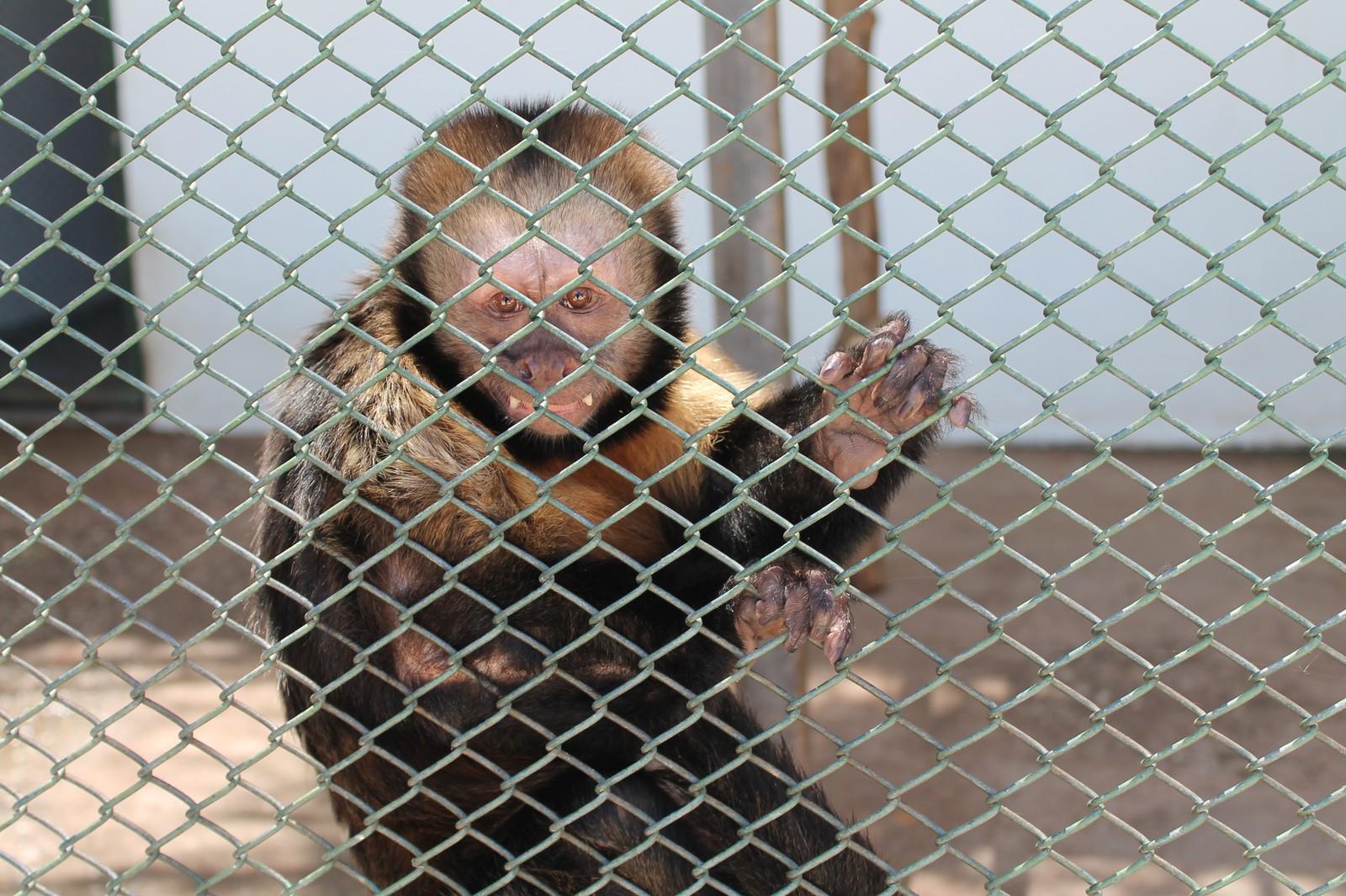 Macaco-prego-do-peito-amarelo trabalhava em circo antes do resgate (Foto: Amanda Lima)