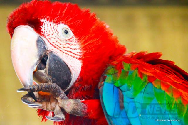 Arara Vermelha. Rústica, é bastante selvagem, não gosta de aproximação e chama atenção pela beleza e cores vivas