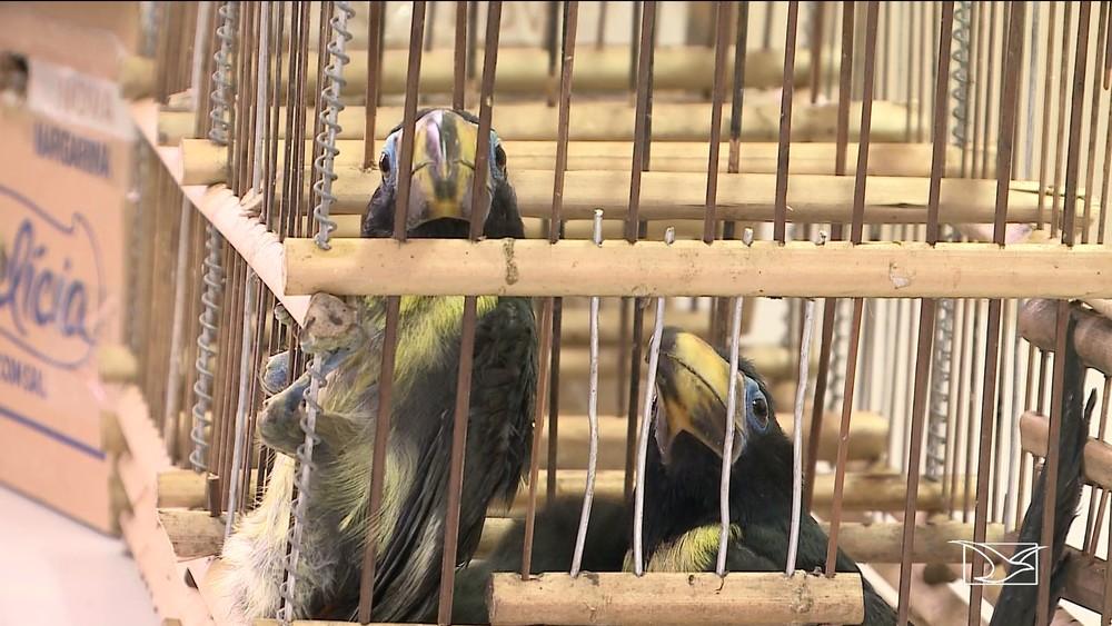 Filhotes de tucanos estavam sendo trazidos ilegalmente para São Luís. — Foto: Reprodução/TV Mirante