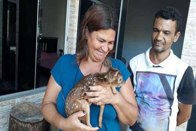 Casal encontrou o filhote de veado às margens da rodovia e o levou para casa. Em seguida, eles chamaram a polícia ambiental