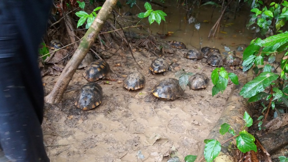 Mais de 80 jabutis capturados em operação no interior do AC são devolvidos à natureza — Foto: Divulgação/Imac