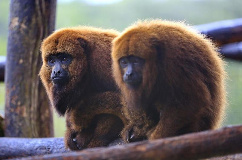 Macacos são sentinelas do vírus(Foto: Félix Zucco, BD, 18/5/2018)