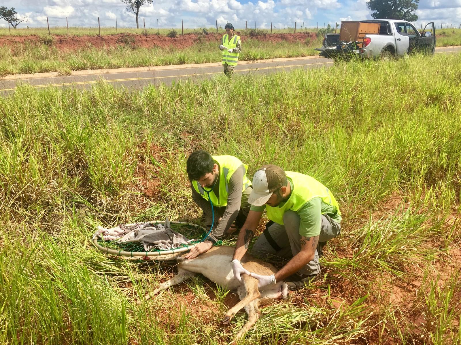 Veado-campeiro recebe atendimento na beira da pista: muitos outros não têm a mesma sorte — Foto: Divulgação/ICAS