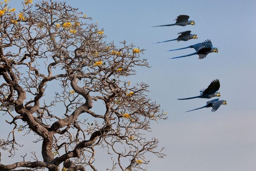 O roubo de ovos e a perda do habitat estão fazendo pressão sobre a população que resta de araras-azuis, a qual se estima que hoje seja de 4,3 mil exemplares adultos.