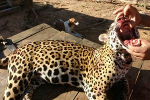 Suspect said to boast he killed over 1,000 jaguars