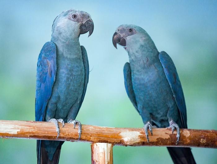 Depois de 20 anos, as ararinhas azuis irão voltar para a natureza em complexa operação
